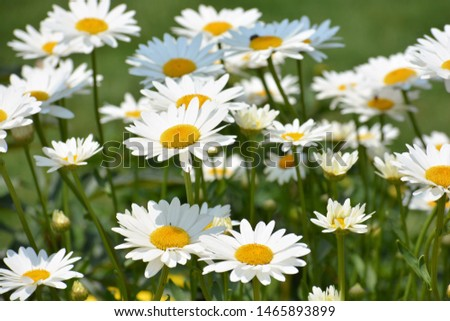Leucanthemum vulgare, commonly known as the ox-eye daisy, oxeye daisy, dog daisy and other common names, is a widespread flowering plant #1465893899