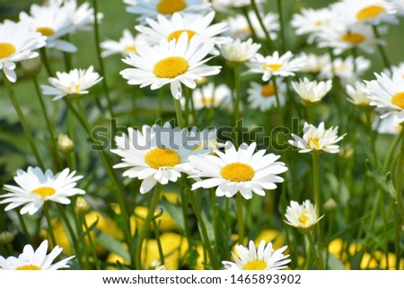 Leucanthemum vulgare, commonly known as the ox-eye daisy, oxeye daisy, dog daisy and other common names, is a widespread flowering plant #1465893902