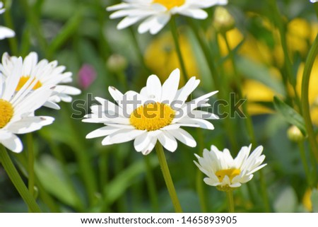 Leucanthemum vulgare, commonly known as the ox-eye daisy, oxeye daisy, dog daisy and other common names, is a widespread flowering plant #1465893905