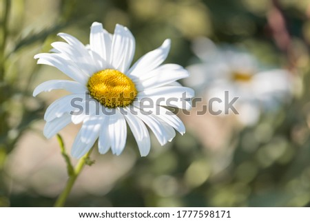 Leucanthemum vulgare, commonly, oxeye, camomile. Stock foto ©