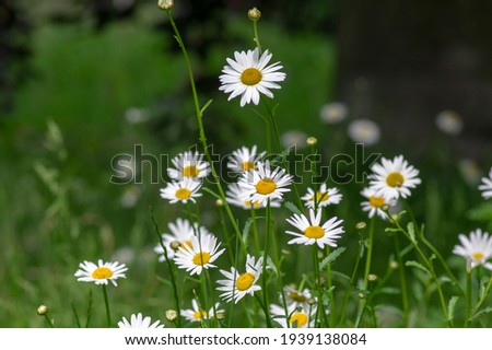 Leucanthemum vulgare meadows wild oxeye daisy flowers with white petals and yellow center in bloom, flowering beautiful plants on late springtime amazing green field Stock foto ©