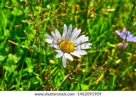Leucanthemum vulgare, ox-eye daisy, oxeye daisy, dog daisy #1462091909