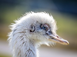 Leucistic White Rhea. Rhea birds are large ratites (flightless birds without a keel on their sternum bone) in the order Rheiformes, native to South America, distantly related to the ostrich and emu.