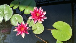 Leydecker water lily top view close up