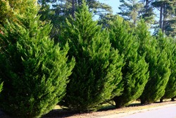 Leyland Cypress Trees in a Row along Road as hedge