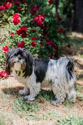 Lhasa Apso Dog Needs Grooming with Scruffy Fur by Garden Flowers