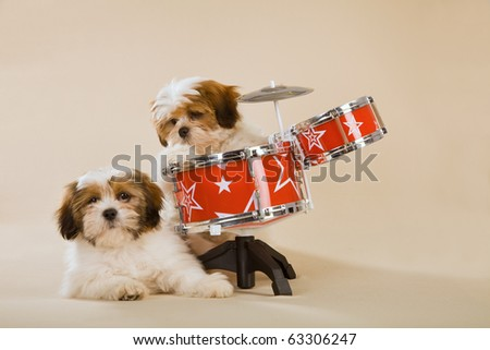 Lhasa Apso puppies with toy drum set