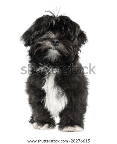 Lhasa Apso puppy (4 months old) in front of white a background - stock ...