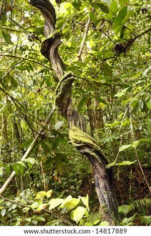 Liana in tropical rainforest, Ecuador