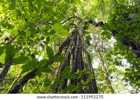 Lianas dangling from the rainforest canopy in Yasuni National Park, Ecuador