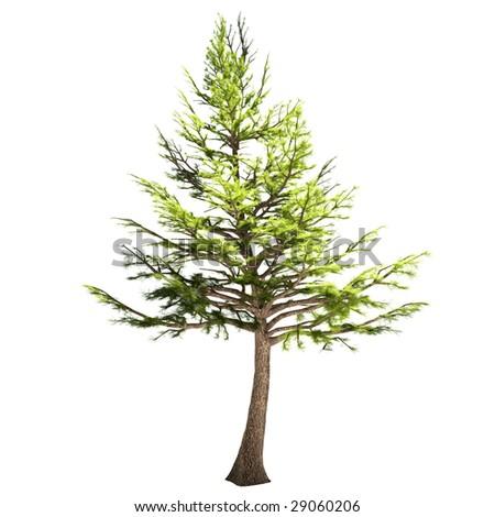 libanon cedar tree isolated
