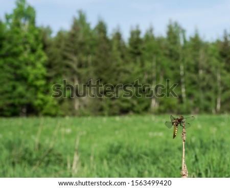 Libellula depressa, broad-bodied chaser or broad-bodied darter pauses in the grass