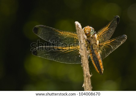 Libellula fulva - stock photo