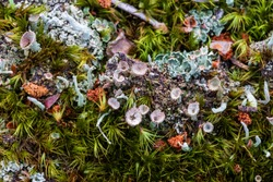 Lichen and moss close-up in woodland area. Detailed view of forest organisms. Poland, Europe.
