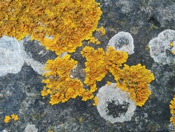 lichen background on the wall stone.A lichen is a composite organism that arises from algae or cyanobacteria living among filaments of multiple fungi species in a mutualistic relationship.  Symbiosis