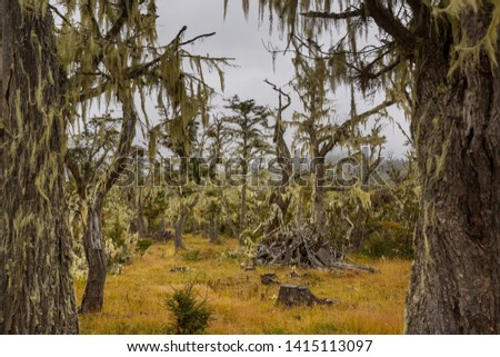 Lichen-covered Antarctic beech (Nothofagus sp.) forests near Ushuaia, Argentina