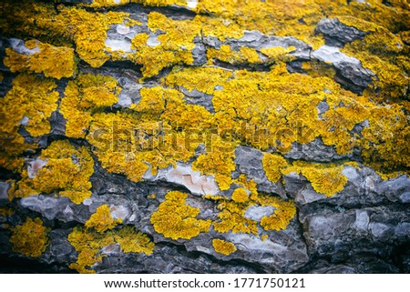 Lichen, fungus on tree trunk background. The common orange lichen plant, yellow scale covers a tree bark. Wallpaper, close up nature background, texture.