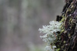 Lichen moss growing on bark of Douglas Fir tree with blurry background