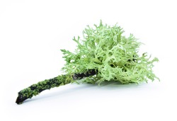 Lichen on a dry twig on a white background. Evernia prunastri, also known as oakmoss, It is used extensively in modern perfumery.
