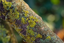 Lichen on bark of old tree. Selective focus. Lichen is yellow-greenish. Tree trunk on blurred background of green garden. Green yellow orange. Ecosystem. Abstract. Texture. Nature concept for design.
