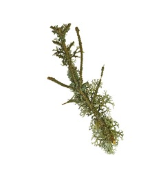 Lichen on twig isolated on white background