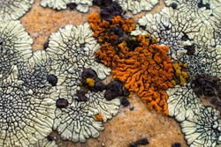 Lichens in various shapes, forms and textures on the surface of rocks.