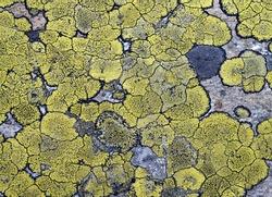 Lichens on stone texture, closeup