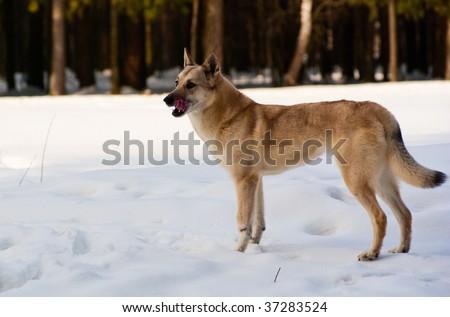 Licking lips Finnish Spitz-dog in winter forest