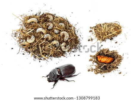 Life cycle of coconut rhinoceros beetle from masses white worm larvae in pile straw and pupa come up as an adult. insect pests and problem of coconut and palm. isolated on white background. #1308799183