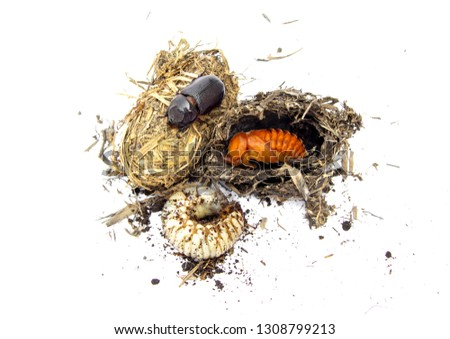 Life cycle of coconut rhinoceros beetle from white worm larvae and and pupa burrow from straw come up as an adult. insect pests and problem of coconut and palm. isolated on white background. #1308799213