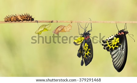 Life cycle of common birdwing butterfly from caterpillar ストックフォト ©