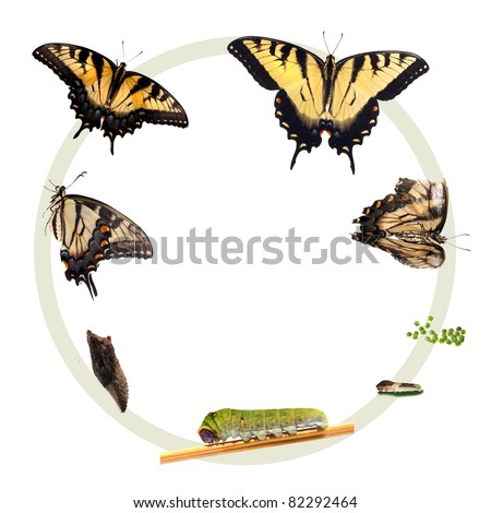 Swallowtail Butterfly Life Cycle on Stock Photo Life Cycle Of The Eastern Tiger Swallowtail Butterfly