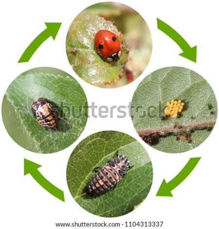 Life cycle of Two-spot ladybird or Adalia bipunctata. Stages of development from egg to adult insect