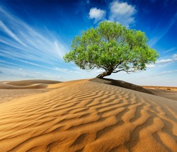 Life ecology solitude concept - lonely green tree in desert dunes