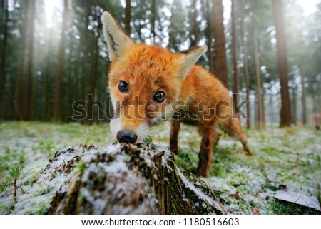 Life in the snowy forest. Red fox in the nature forest habitat wide angle lens picture. Animal with tree trunk with first snow. Vulpes vulpes, in green forest during winter.