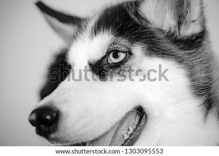 Life is short, play with your dog. Husky with blue eyes and wolf like look. Husky dog. Cute pet dog. Siberian husky is a beautiful purebred dog breed. Pet care. Canine club. #1303095553