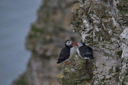 Life on the cliff edge for the Puffins on Flamborough head