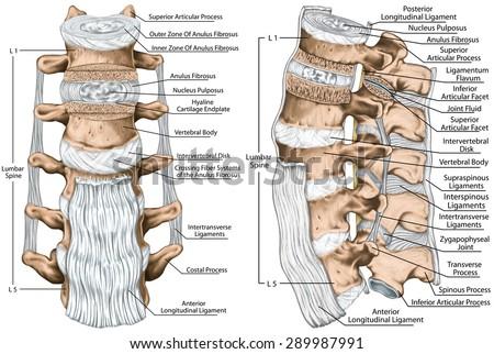 Superficial and Deep Back Vertebral Column (Nichols)/Epithelium ...