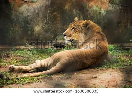 Liger Hainan Tropical Wildlife Park