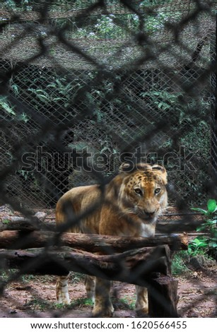 Liger in the Hainan Tropical Wildlife Park