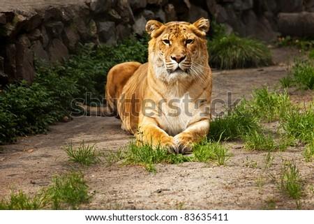 liger lying on ground look on camera
