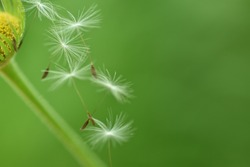Light and graceful. Dandelion seeds on green background gracefully gliding through the air