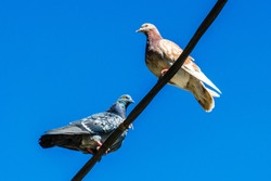 Light and gray doves sits high on a street wires against a blue clear sky. Close up of a lone two urban pigeons sitting across from each other. Place for text. Bird concept.