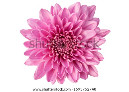 light blue flower on a white background isolated with clipping path. Closeup. big shaggy flower. for design. Dahlia., Chrysanthemum flower