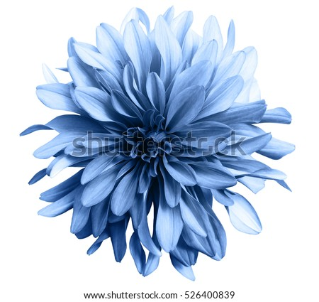 light blue flower on a white  background isolated  with clipping path. Closeup. big shaggy  flower. for design.  Dahlia.