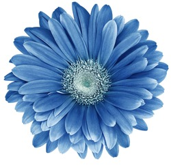 light blue  gerbera flower  isolated on  white background. No shadows with clipping path. Close-up. Nature.