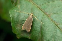Light brown apple moth, Epiphyas postvittana in Satara, Maharashtra, India