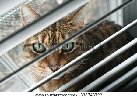 Light brown cat with green eyes looks behind window shades #1338743792