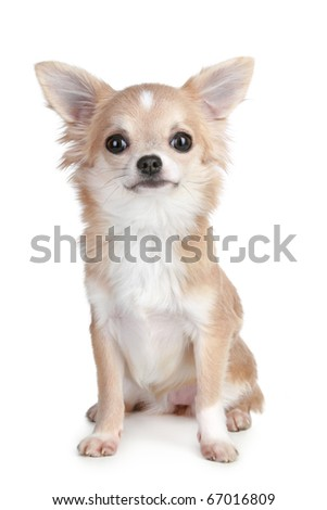 Light-brown chihuahua puppy sitting on a white background