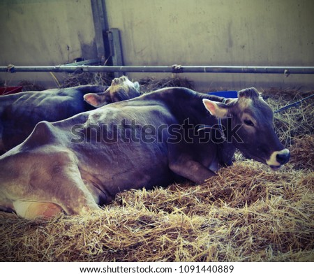 light brown cow lying in the...